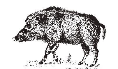 Il cinghiale sardo in unillustrazione tratta da F Floris La grande enciclopedia della Sardegna Newton Compton editori Roma 2002JPG