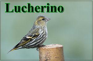 Lucherino-anteprimajpg