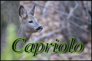 capriolo-anteprimajpg
