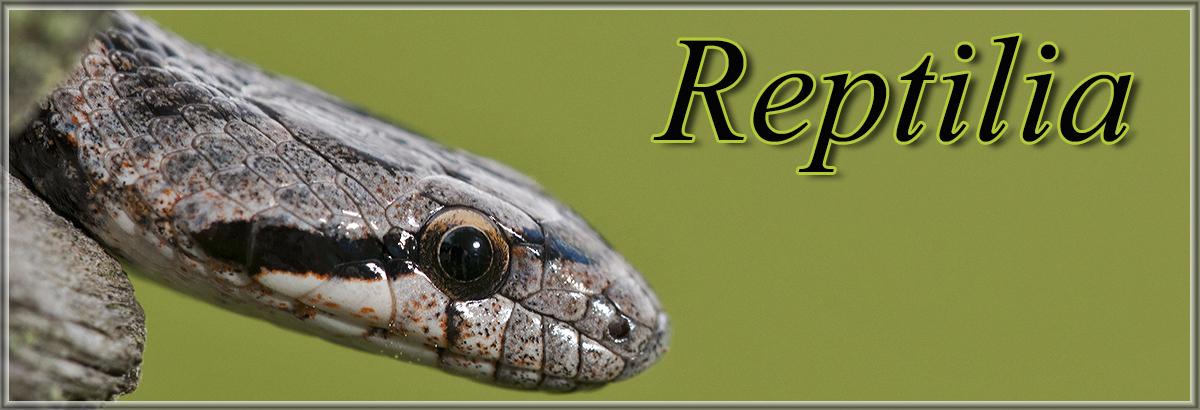 Reptiliajpg