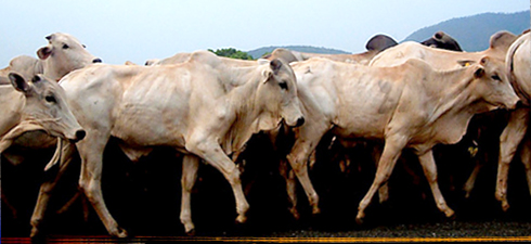 vacche-magrejpg