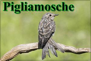 Pigliamosche-anteprimajpg