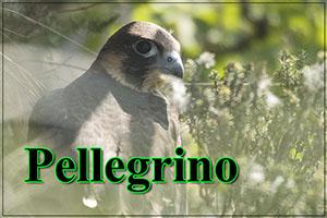 Pellegrino-anteprimajpg