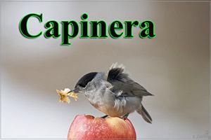 Capinera-anteprimajpg