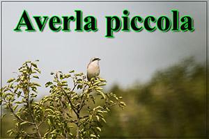 Averlapiccola-anteprimajpg