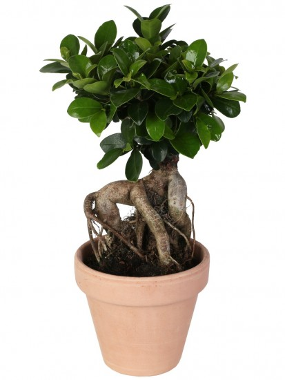 BONSAI F. GINSENG 150 g