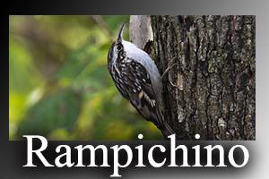 Rampichino-anteprimajpg