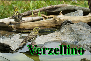 Verzellino-anteprimajpg