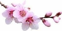 1 sakura flower culinary delights spumarche hashimotojpg