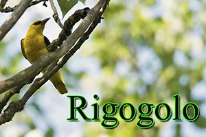 Rigogolo-anteprimajpg