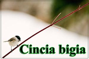 Cinciabigia-anteprimajpg