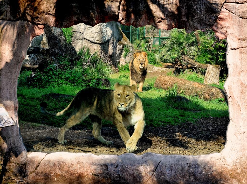credit bioparco leone asiaticojpg