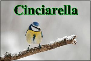Cinciarella-anteprimajpg