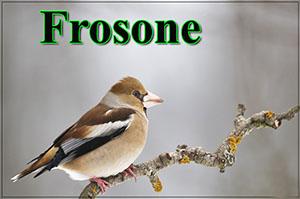 frosone-anteprimajpg