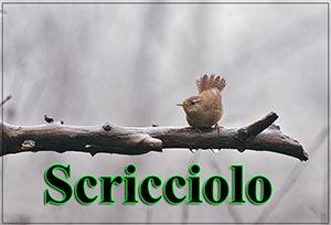 Scricciolo-anteprimajpg