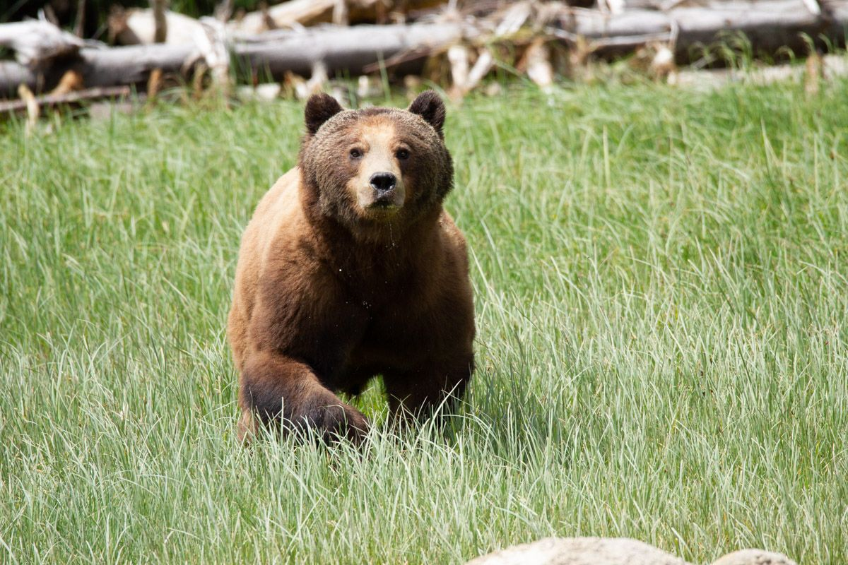 Grizzly - Ursus arctos horribilisGreat Bear Rainforest British Columbia Canada