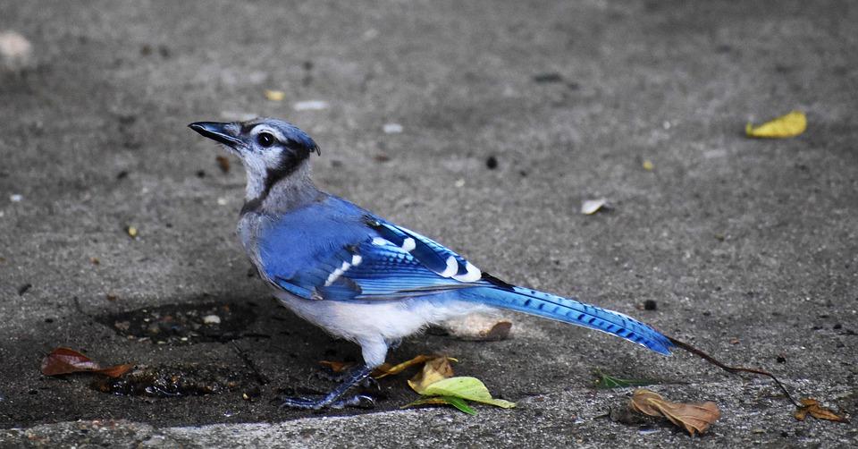 blue-jay-5325229_960_720jpg