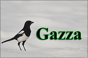Gazza-anteprimajpg