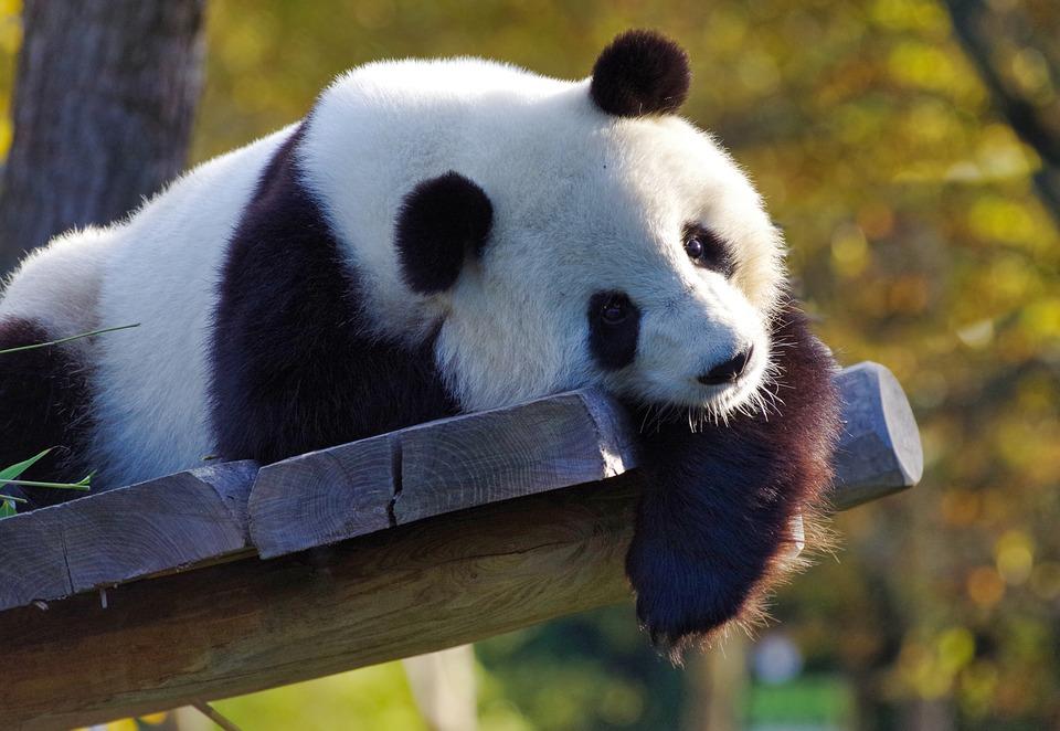 panda-3875289_960_720jpg