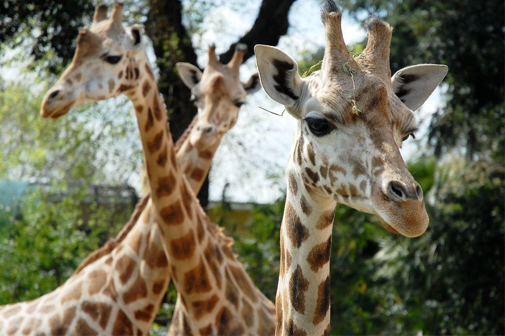 Giraffe_incrocio_collijpg