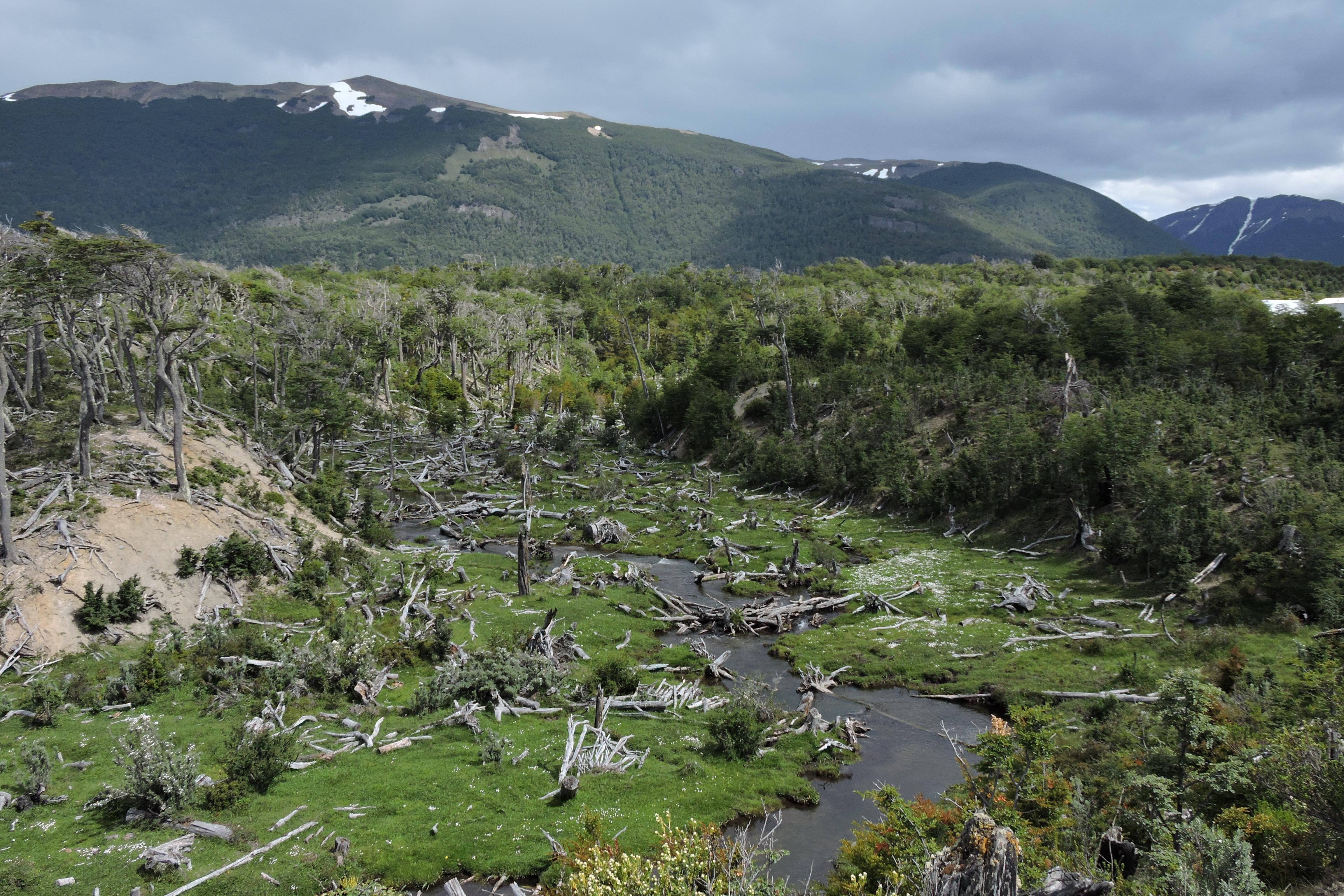 area deforestata dai castorijpg
