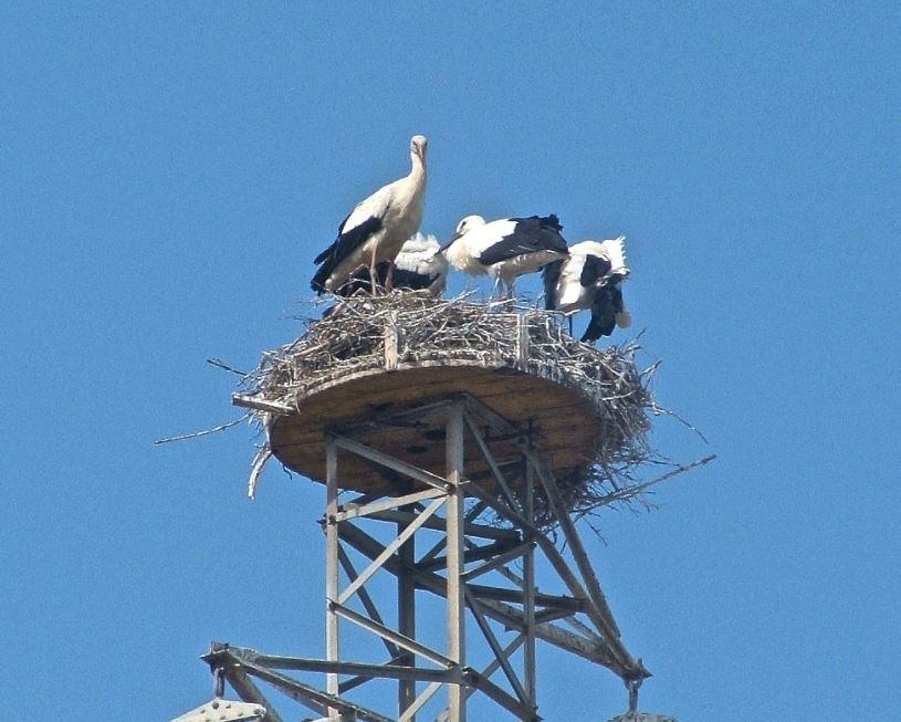 cicogna Sibari Cs Prima nidificazione di Cicogna bianca in Calabria su piattaforma artificiale Foto R SantopaoloJPG