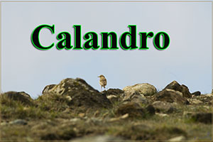 Calandro-anteprimajpg