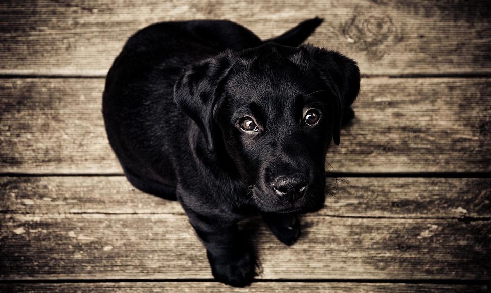 puppy-336707_960_720jpg