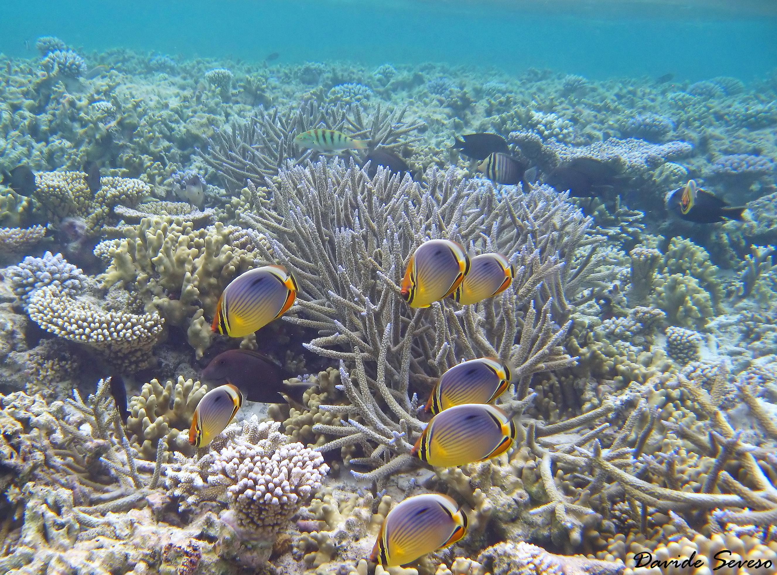 10 Scogliera corallina con pesci farfallajpg