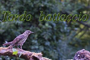 tordo Bottaccio-anteprimajpg