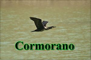Cormorano-anteprimajpg