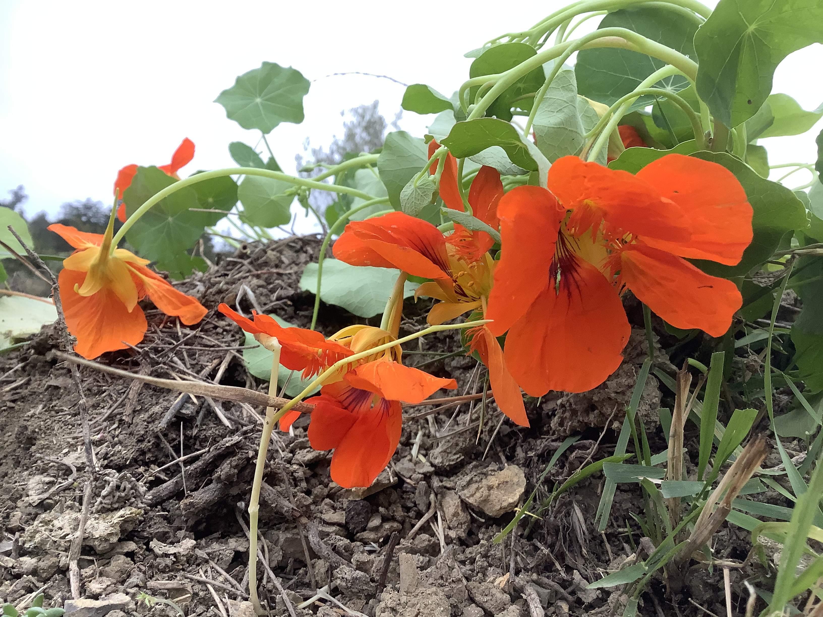 Fiori E Piante Commestibili 8 fiori di nasturzio edibili