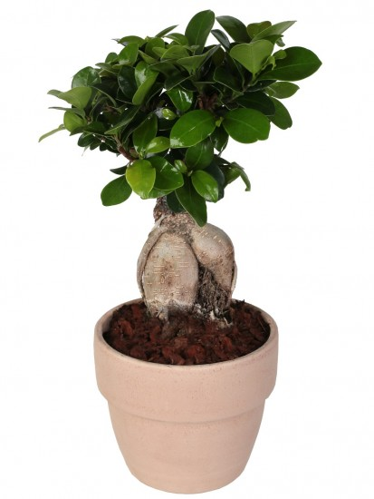 BONSAI F. GINSENG 250 g IN PALLADIO ARENA