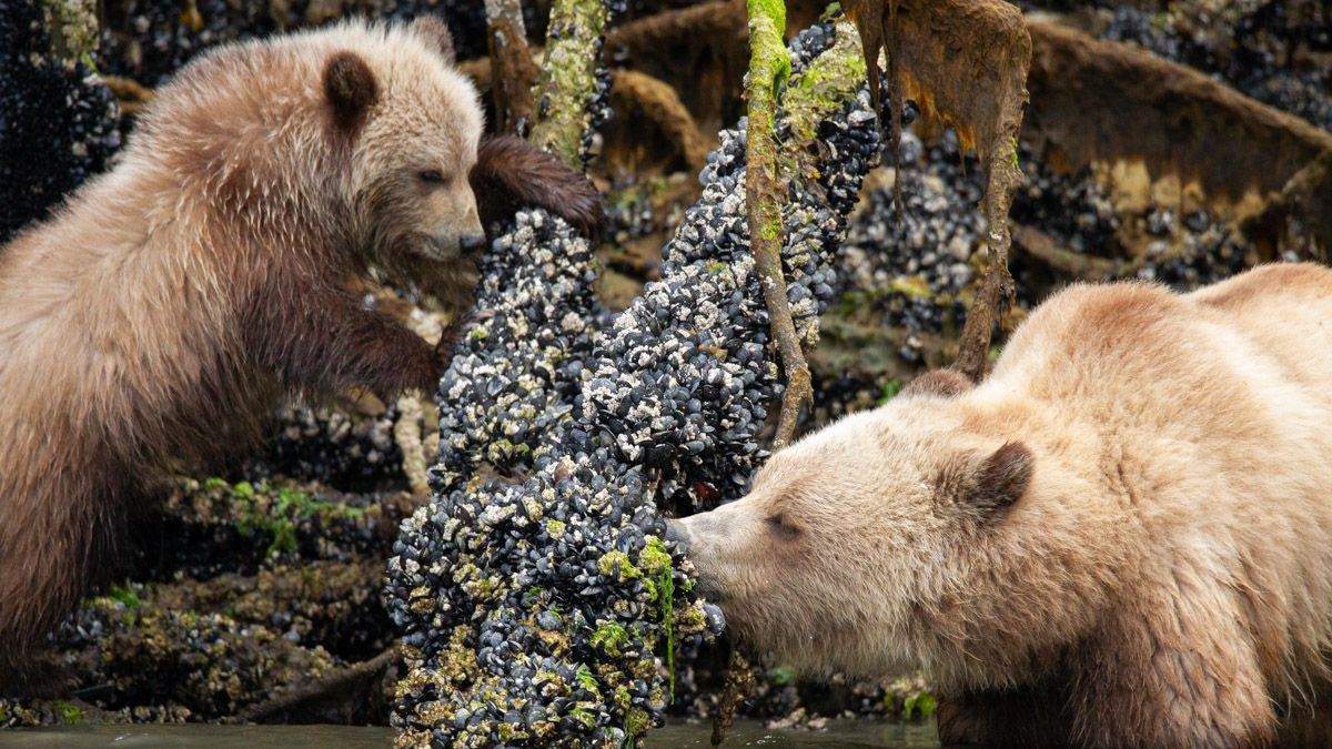 Grizzly (femmina e cucciolo) intenti a cibarsi di mitili - British Columbia Knight Inlet