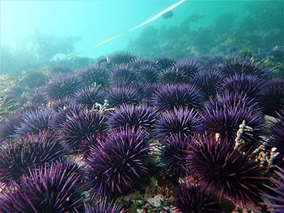 urchin-barren-400jpg
