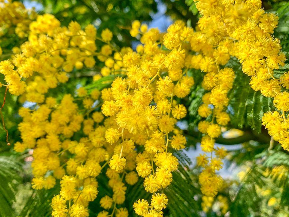 mimosa-4876706_960_720jpg