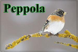 peppola-anteprimajpg