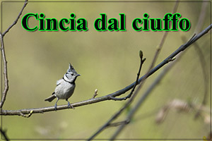 Cinciaciuffo-anteprimajpg