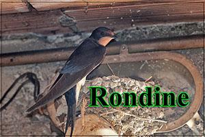 Rondine-anteprimajpg