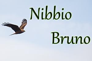 Nibbio Bruno-anteprimajpg
