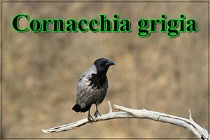 Cornacchiagrigia-anteprimajpg