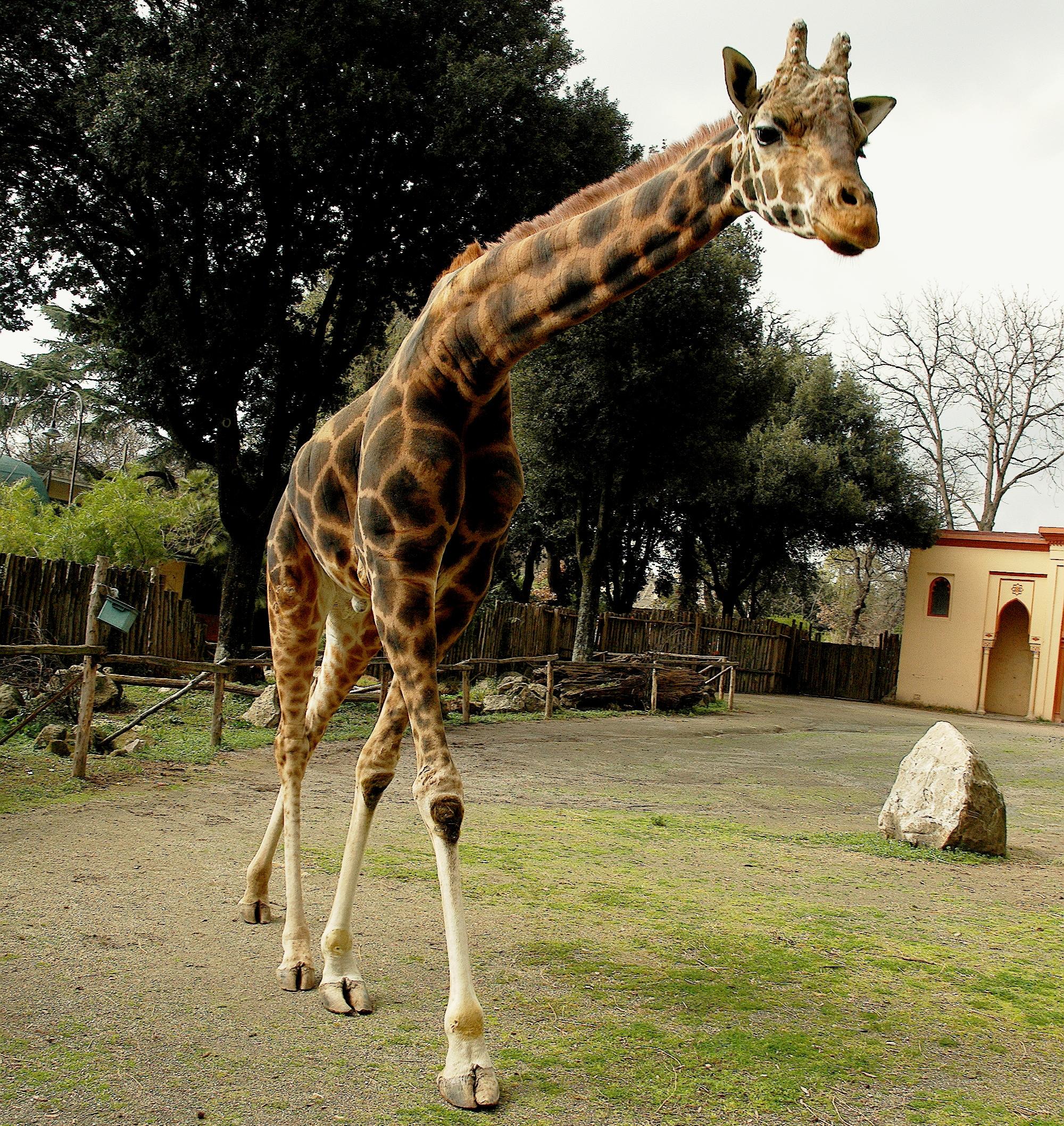 Giraffa camelopardalis _ foto Massimiliano Di Giovanni - Archivio Bioparco 35jpg