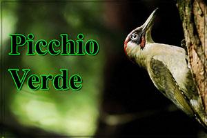 Picchio-verde-anteprimajpg