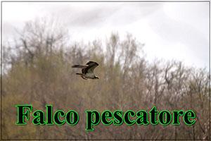 Falcopescatore-anteprimajpg