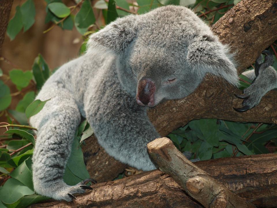 koala-9960_960_720jpg