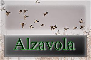 Alzavola-anteprimajpg