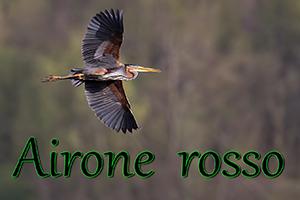 Airone-rosso-anteprimajpg